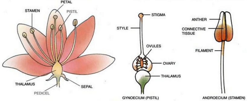 Image showing typical flower with its parts.