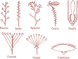 Image showing types of Racemose Inflorescence.