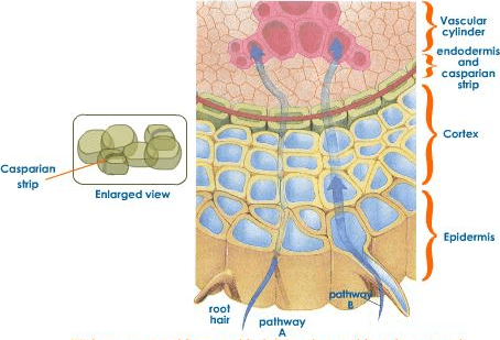 Image showing water path from root hairs to cortex and xylem vessel.
